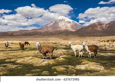 Alpacas and Sajama volcano, Bolivia