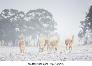 Alpacas unexpectedly caught in a snow storm in Northern New South Wales, Australia. Snow only reaches here every 5 years or so and rarely to this magnitude.