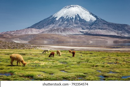 Alpaca's (Vicugna pacos) grazing on the shore of Lake Chungara at the base of Parinacota Volcano, in the Altiplano of northern Chile.