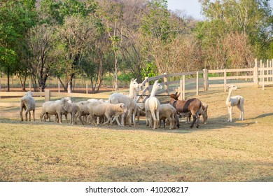 Alpaca,sheep,donkey standing wainting food in farm at evening