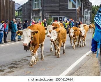 Alpe di Siusi, Italy - October 5 2019: The Cow parade in Italian Alps