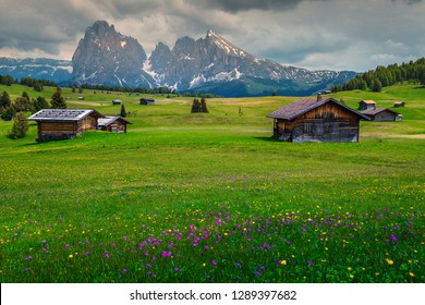 Alpe di Siusi - Seiser Alm with Sassolungo - Langkofel mountain group in background. Colorful fresh spring flowers and wooden chalets in Dolomites, Trentino Alto Adige, South Tyrol, Italy, Europe