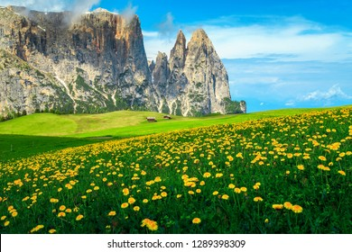Alpe di Siusi - Seiser Alm with Sciliar - Schlern mountain group. Amazing spring fields with yellow dandelion flowers and high mountains, Dolomites, Trentino Alto Adige, South Tyrol, Italy, Europe