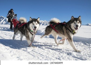 Alpe Giumello  ( Italy ) 01/24/2015: in the Italian alps in january there was the 11th meeting of the Alaskan Malamue breed where people from allover Europe come to show theyr dogs