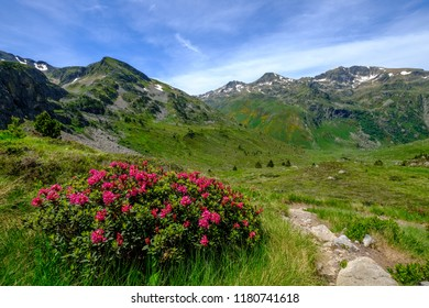 Alpenrose and hiking trail in the Pyrenees mountains in Ariege near Aston, France