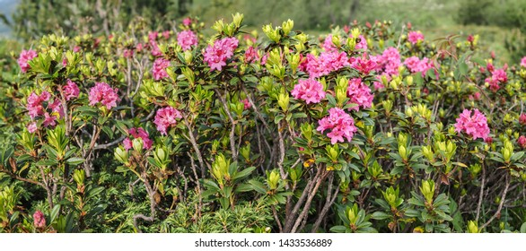 Alpenrose, snow-rose, or rusty-leaved alpenrose (Rhododendron ferrugineum) in bloom
