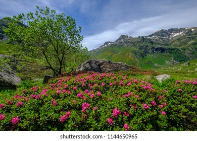 Alpenrose, tree and rocks in the french Pyrenees mountains in Ariege near Aston