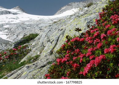 alpenroses growing on stones in Pyrenees