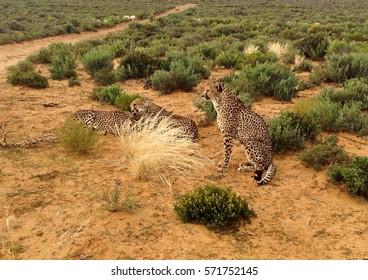 Alpha Cheetah male watching