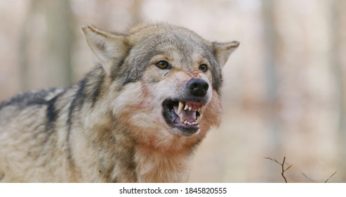 alpha grey wolf growling and snarling right into camera