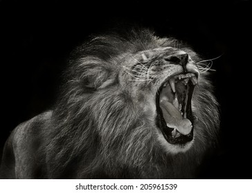 alpha male african lion showing aggression during mating behavior
