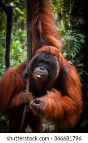 Alpha Male Orangutan hanging on a tree in the jungle, Kalimantan, Borneo, Tanjung Puting, Indonesia