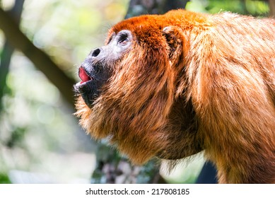 howler monkey images stock photos vectors shutterstock