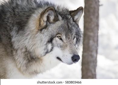 Alpha Wolf Images, Stock Photos & Vectors | Shutterstock