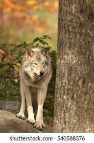 Alpha male wolf in autumn
