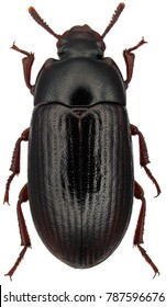 Alphitobius diaperinus is a species of beetle in the family Tenebrionidae, the darkling beetles. Commonly as the lesser mealworm and the litter beetle. Isolated on a white background