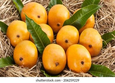 Alphonso Mango kept for ripe in dry grass