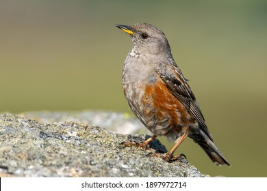 Alpine accentor (Prunella collaris), with beautiful green coloured background. Colorful song bird with orange feather sitting on the stone in the mountains. Wildlife scene from nature, Czech Republic