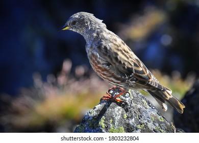 alpine-accentor-prunella-collaris-small-