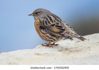 Alpine Accentor (Prunella collaris).In Spain