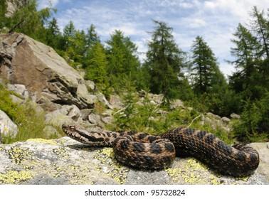 Alpine aspid viper and his habitat (female Vipera aspis atra)