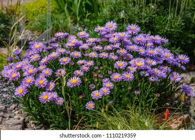 Alpine Aster (Aster alpinus) . Decorative garden plant with purple flowers. Beautiful perennial plant for rock garden.