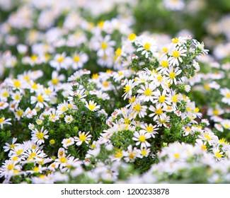 Alpine Astra White. Macro