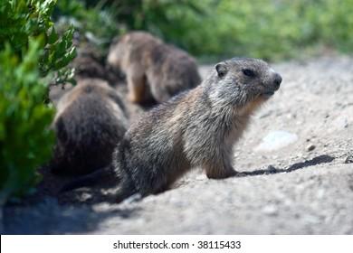 alpine baby marmot