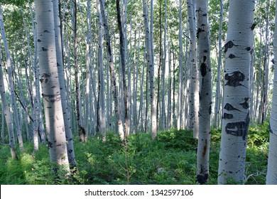 Alpine Birch Trees in Avon, Colorado, USA