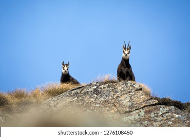Alpine chamois mother and puppy. Gran Paradiso National Park, Italy