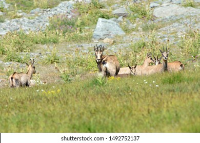 Alpine chamois mothers and puppies. Gran Paradiso National Park, Italy