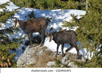 alpine chamois (Rupicapra rupicapra)