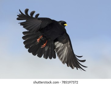 alpine chough landing