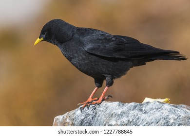 Alpine Chough, Pyrrhocorax graculus, black bird sitting and eating on the stone, animal in the mountain nature habitat, Grossglockner High Alpine Road, Austria