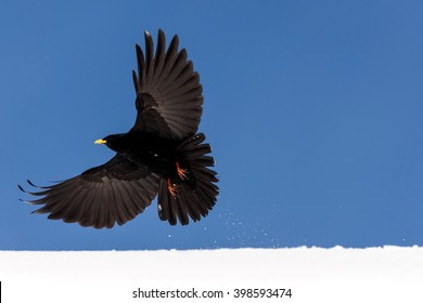 An alpine chough takes off from a snowy roof in the village of Adelboden, Switzerland.