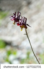 Alpine columbine - Aquilegia alpina. Blossom on focus in foreground, blossom out of focus in background. Beautiful bokeh.