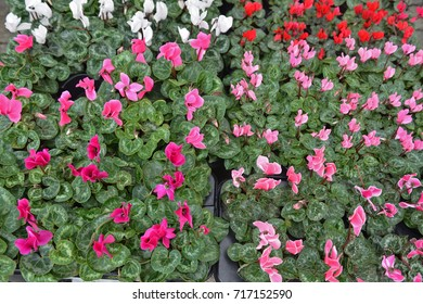 Alpine cyclamen (Cyclamen purpurascens)
