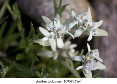 Fluffy white mountain flower images stock photos vectors alpine edelweiss leontopodium alpinum rare and protected white mountain flower mightylinksfo