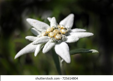 Alpine edelweiss, Leontopodium alpinum, rare and protected white mountain flower.