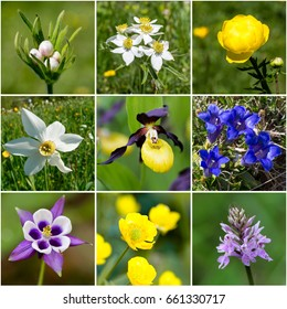 Alpine flora collage IV (from top left: narcissus anemone buds; narcissus anemone; globeflower; Narcissus radiiflorus, lady's slippers; stemless gentian; Aquilegia; buttercup, common spotted orchid)