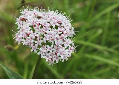 Alpine flora Valeriana montana