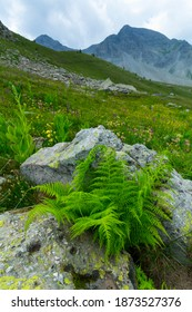 Alpine flowers in Col de la Cayolle mountain pass of Ubaye Valley in Alps Haute Provence of Provence region of France, Europe