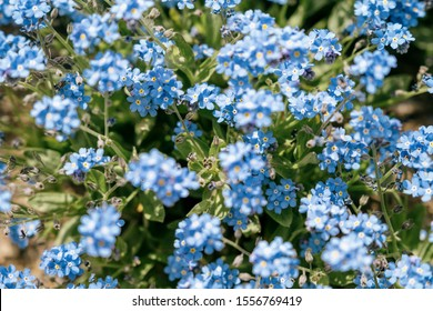 Alpine forget-me-not flowers in a field