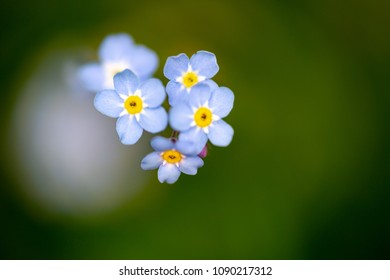 Alpine forget-me-not, Myosotis alpestris, extreme macro on blue flowers head. Selective focus on flowers with green blurred background. Horizontal close up full frame shot with text space