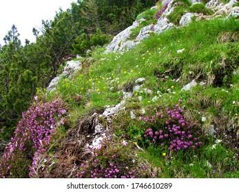 Alpine garden with yellow and white flowers and pink blooming winter heath, winter flowering heather, spring heath, alpine heath