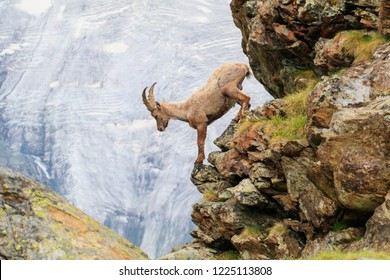 An alpine goat descends a cliff of a mountain in the Swiss Alps one summer morning in Zermatt, Switzerland