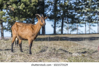 Alpine goat portrait on pasture field