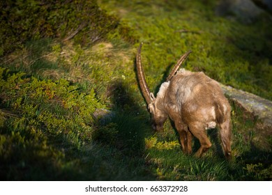 Alpine goats in the mountains at sunset