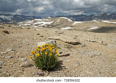alpine gold yellow wildflower growing on a barren slope above Humphreys Basin in the Sierra Nevada Mountains of California