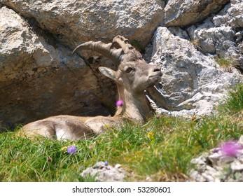 Alpine Ibex in the Alpes Switzerland